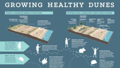 Growing Healthy Dunes (Graphic by Sasaki Associates)